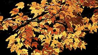 Fall Leaves Yellow Orange Red HD wide