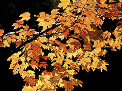 Fall Leaves Posterized Yellow Orange Red