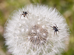 Spiders of dandelion worship background and power point graphic