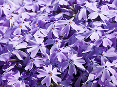 Power point background still photo flowers - Phlox Background SD