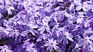 Phlox Widescreen Worship and Powerpoint Background