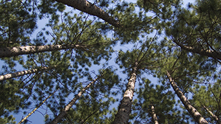 Pine Forest Canopy HD power point still background
