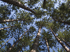 Pine Forest Canopy Worship Power point background