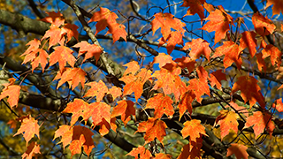 Brown county Maple Fall Leaves