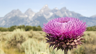 Teton Thistle Flower HD widescreen powerpoint and worship background