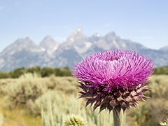 Power point background Teton Thistle Flower SD