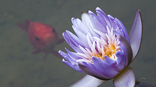 Goldfish and Lotus Flower Pond Background for worship in Widescreen