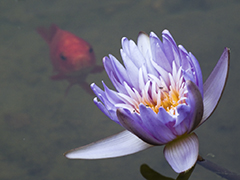 Goldfish and Lotus Flower Pond Background for power point or worship presentation